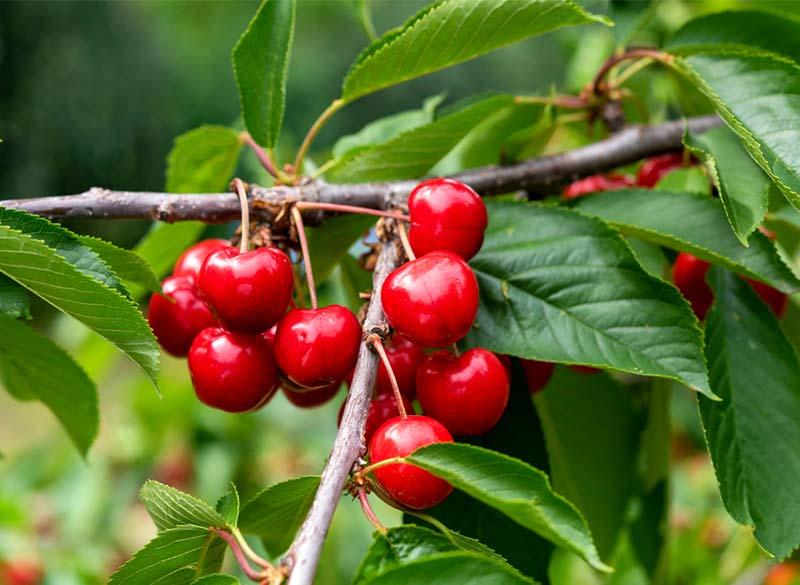 Cherry Tree Boys